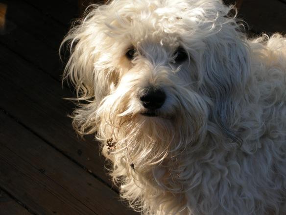 scruffy puppy
